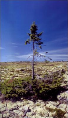 El árbol más viejo