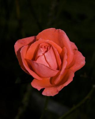Ahí va una de fotos de rosas